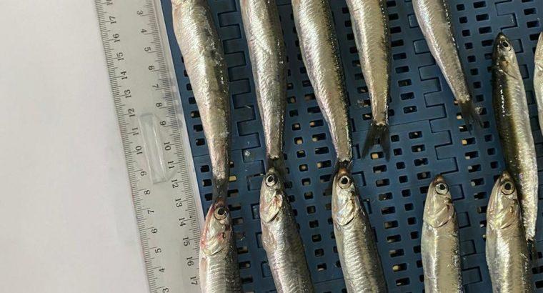 Producteur Marocain de poisson de qualité