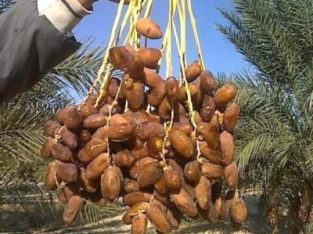 agriculteur et producteur commerçant des dattes tunisien Customer Service / customer service / خدمة العملاء