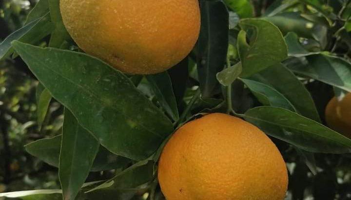 Mandarines Marisol prêtes l'export