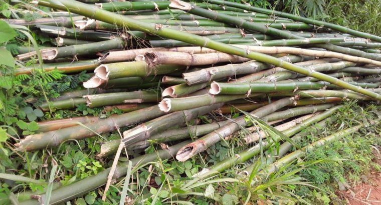 Photos des bambous