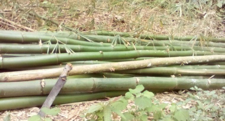 BAMBOUS BIO – Cameroun